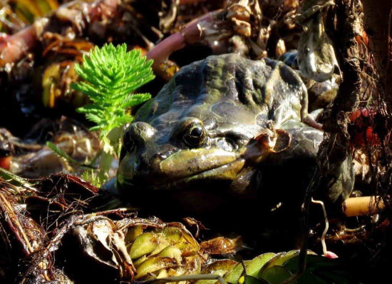 Rana criolla/Creole Frog