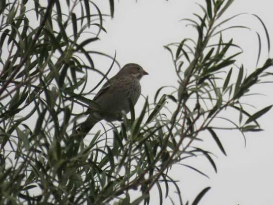 Yal negro/Mourning Sierra-Finch