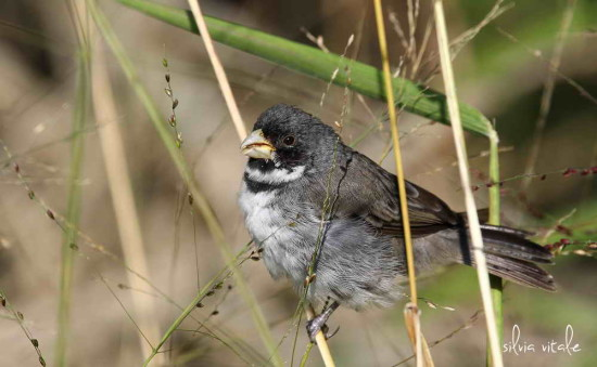 Corbatita común/Doulbe-collared Seedeater