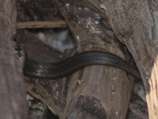 Culebra acuática común/Colubroidean snake