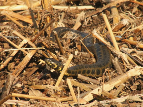 Culebra acuática overa/Colubroidean snake