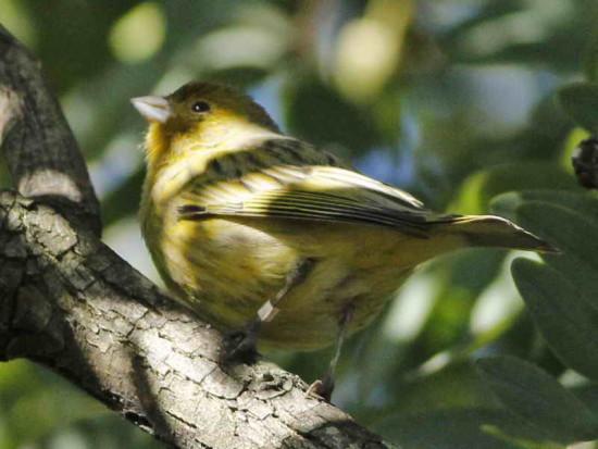 Canario/Canary