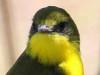 Doradito oliváceo