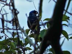 Frutero azul/Diademed Tanager