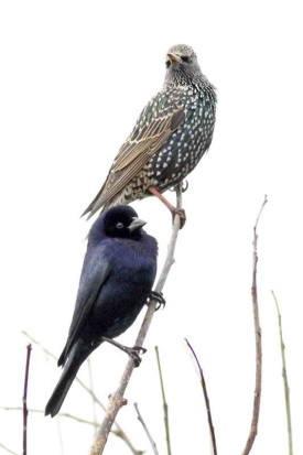 renegrido-estornino/Cowbird-starling
