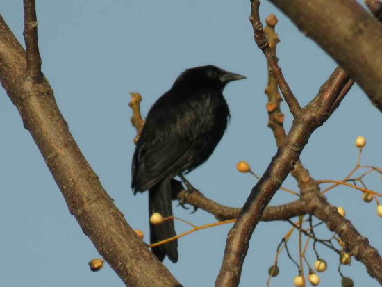 Varillero negro/Unicoloured Blackbird