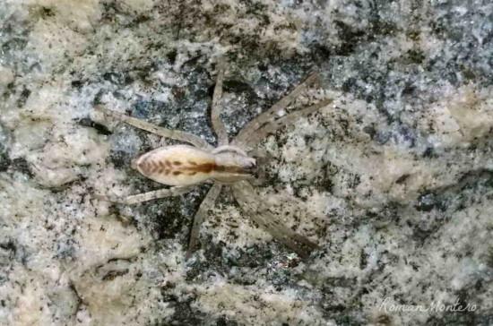 Arachosia praesignis