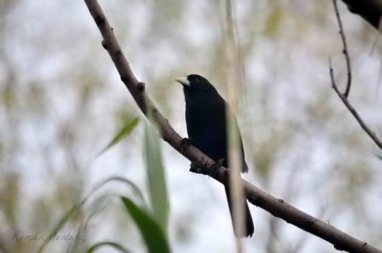 Boyero negrp/Solitary Black cacique