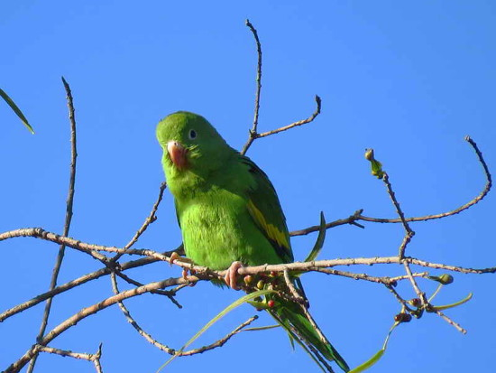 Catita chirirí/Yellow-chevroned Parakeet