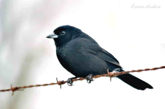 Frutero negro/White-lined Tanager