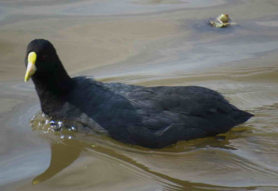 Gallareta chica/White-winged Coot