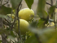 Limonero/Lemon tree