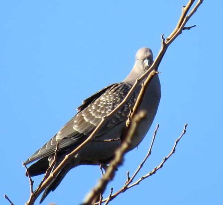 Paloma manchada/White-tipped Dove