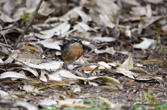 Sietevestidos/Black-and-rufous Warbling-Finch