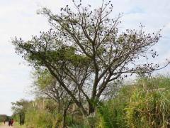 Pacara earpod tree