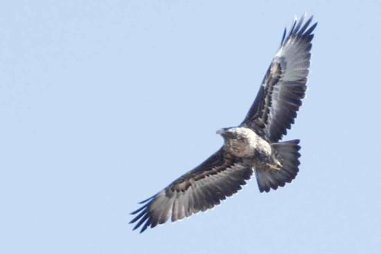 águila mora JST 9 8 16