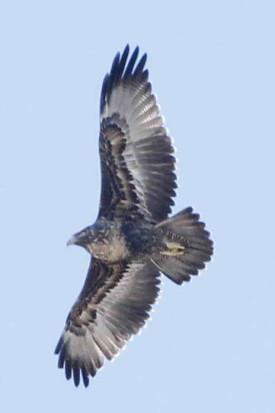 águila mora JST 9 8 16_1