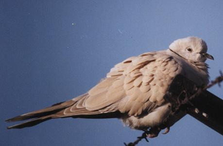 Paloma turca/Eurasian Collared Dove