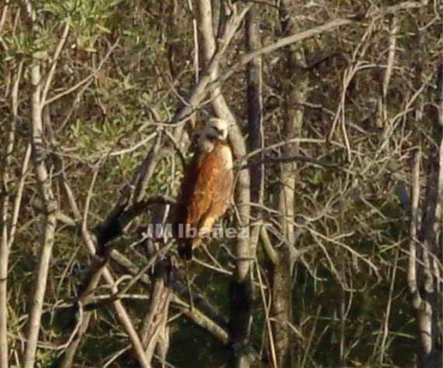 Aguilucho pampa/Black-collared Hawk