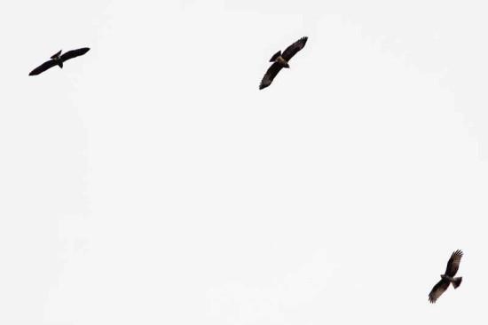Caracolero/Snail Kite