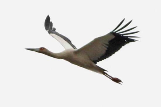 Cigüeñoa/Maguari Stork