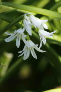Lágrima de la virgen/Three-cornered leek