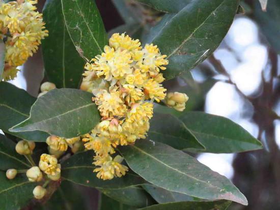 Laruel común/Bay tree
