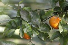 Mandarino/Mandarin tree