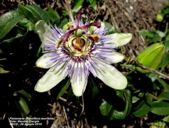 Pasionaria de hoja de moral/Woodland passion flower
