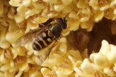 Syrphus sp
