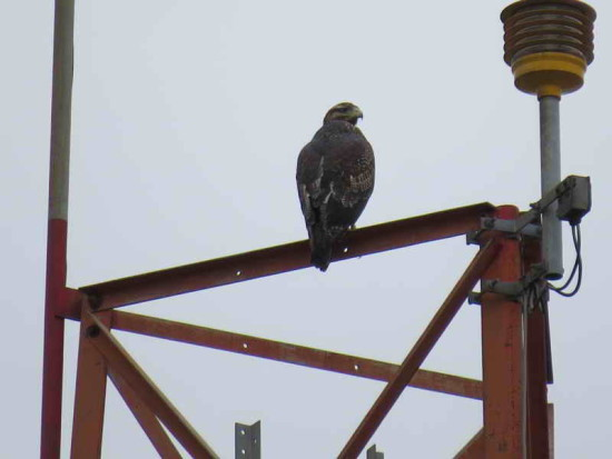 Águila mora/Black-chested Buzzard-Eagle