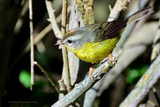 Arañero coronado chico//Golden-crowned Warbler