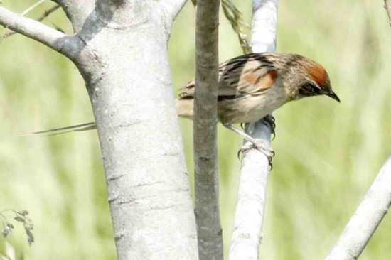 Chotoy/Chotoy Spinetail