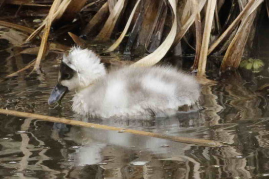 Coscoroba/Coscorboa Swan