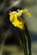 Lirio amarillo/Yellow flag
