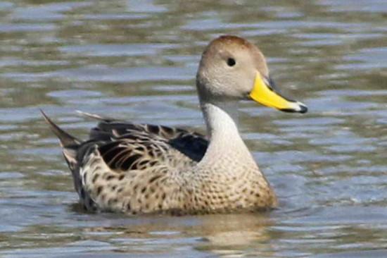 Pato maciero/Yellow-billed Pintail