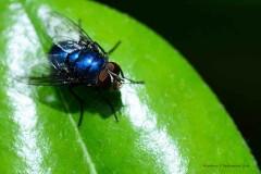 Mosca azul/Blow fly