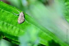 Nomophila noctuella ?