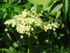 saúco/Eldertree