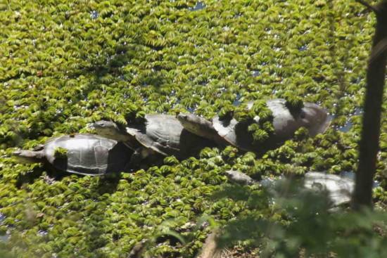 Torutga de laguna/Side-necked turtle