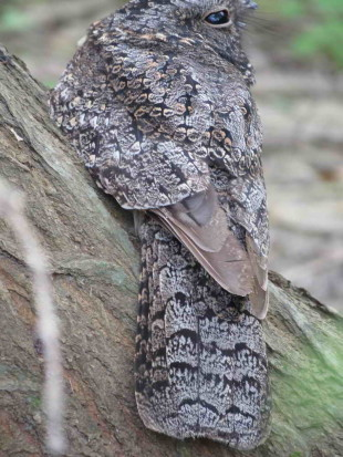 Atajacaminos ñañarca/Band-winged Nightjar