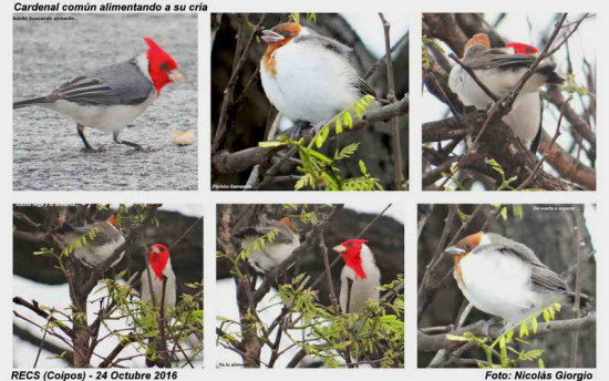 Cardenal común/Red-crested Cadinal