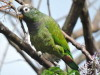Loro maitaca/Scaly-headed Parrot