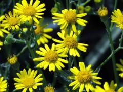 Margarita amarilla/Daisy