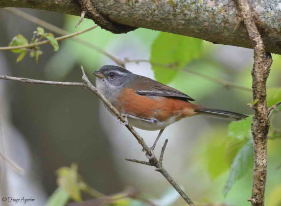 Monterita litoraleña/Gry-throated Warbling-Finch