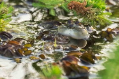 Ranita boyadora chica/Lesser Swimming-frog