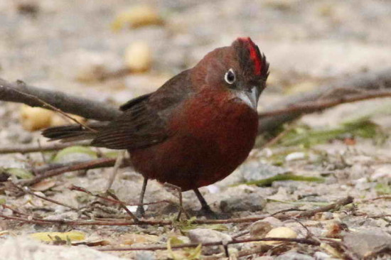 Brasita de fuego/Red-crested Finch