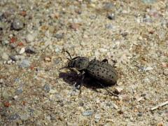Escarabajo de arena/Darkling beetle