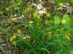 Flor amarilla/Fireweed