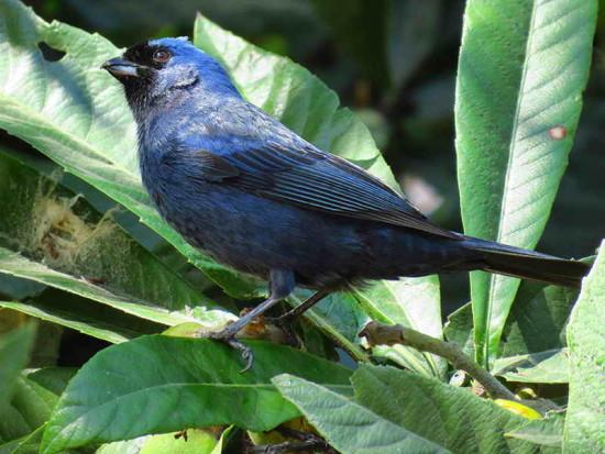 Deurweo azul/Diademed Tanager